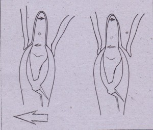 If forceps is apically seated, center of rotation t') i~displaced apically and less apical pressures are generated (A). This results in greater expansion of buccal cortex, I~s movement of apex of tooth, and therefore less chance of fracture of root (B).