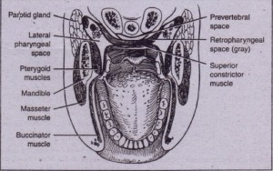 FIG. 16-11 lateral pharyngeal space is located between medial pterygoid muscle on lateral aspect and superior pharyngeal constrictor on medial aspect. Retfopharyngeal and prevertebral spaces lie between pharynx and vertebral column. Retropharyngeal space lies between superior constrictor muscle arid alar portion of prevertebral fascia. Prevertebral spaces lie between alar layer and prevertebral fascia. (From Cummings CW etot, editors: Otolaryngology: head and neck surgery, vol 3, 51 Louis, 1998, Mosby.)