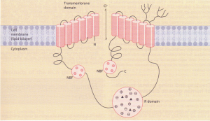 Model of cystic fibrosis transmembrane conductor regulator (CFTR). This is an integral membrane glycoprotein, consisting of two repeated elements. The cylindrical structures represent 6 membrane-spanning helices in each half of the molecule.