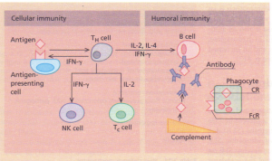 Components of the immune response. Antigen is presented to Thelper cells (TH cell) by an antigenpresenting cell. TH cells secrete Iymphokines, which activate cytotoxic T cells (Tc cells) that are involved in antiviral activity. The Iymphokines also activate NK cells,