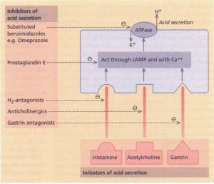 Diagrammatic representation of the mechanisms involved in acid secretion.
