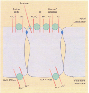 Diagrammatic representation of solute transport across the apical membrane showing glucose/galactose sodium-linked transport. The Na+, K+ ATPase pump is located in the basolateral membrane.