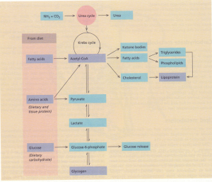 Interrelationships of protein, carbohydrate and lipid metabolism in the liver.
