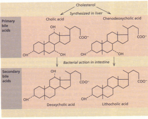 Primary and secondary bile acids. All bile acids are normally conjugated with glycine or taurine.
