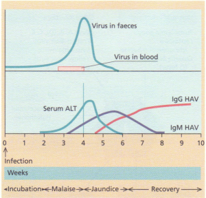 Hepatitis A virus-sequence of events after exposure.
