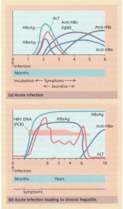 Time course of the events and serological changes seen following infection with hepatitis B virus (HBV). (a) Acute infection Antigens: HBsAg appears in the blood from about 6 weeks to 3 months after an acute infection and then disappears. Its presence indicates an acute or chronic infection. HBeAg rises early and usually declines rapidly. Its persistence correlates with increased severity and infectivity of the disease.