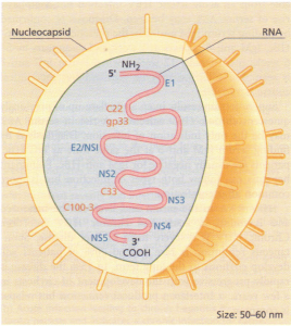 Hepatitis C virus. A schematic diagram showing single-stranded RNA genome with coding regions.