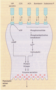 Diagram showing stimulus-secretion coupling of pancreatic acinar cell protein secretion. VIP, vasoactive intestinal polypeptide; CCK, cholecystokinin; ACh, acetylcholine.