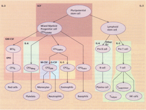 A diagram of the role of growth factors in normal haemopoiesis.