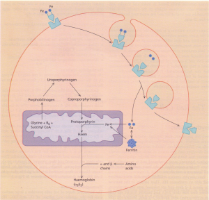 Haemoglobin synthesis. Transferrin attaches to a surface receptor on developing red cells.
