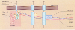 Schematic representation of the red cell membrane showing the sites of the principal defects in HS. Hs(Ank+),