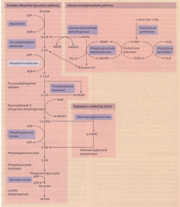 Metabolic pathways (simplified) in the red cell.