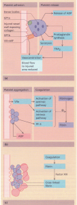 Formation of the haemostatic plug. Sequential interactions of the vessel wall, platelets and coagulation factors.