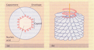 Viruses. (a) Schematic diagram of a virus structure (icosahedral). (b) Helical symmetry, showing capsomers arranged along the helical nucleic acid molecule.