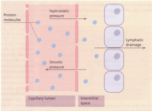 Distribution of water between the vascular and extravascular