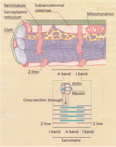 A schematic diagram showing the structure of a myofibril. The myofibrils are made up of a series of sarcomeres joined at the Z line.