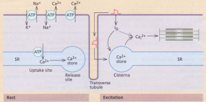 The calcium cycle. Right: Ca2+ ions stored in the cisternae
