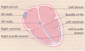 The normal cardiac conduction system.