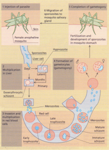 A schematic life-cycle of Plasmodium vivax.