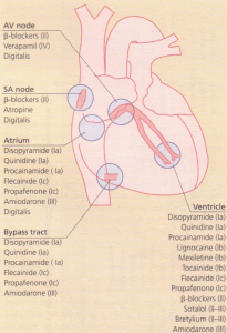 Drugs that affect different parts of the heart.