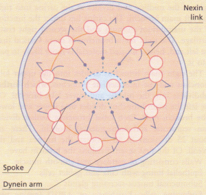 Cross-section of a cilium.