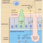 Defence mechanisms of the respiratory tract