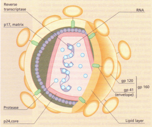 Structure of HIV.