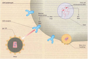 HIV entry and replication in CD4 T lymphocytes. The virus replicates by making a DNA copy (provirus) of its diploid RNA (using reverse transcriptase) which then becomes inserted into the host cell chromosomal DNA. This then provides RNA genomes for a progeny of new viruses.