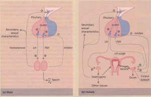 (a) Male and (b) female hypothalamic-pituitarygonadal axes.