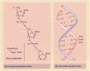 Deoxyribonucleic acid (DNA). (a) A polynucleotide chain. The chain has the 'sugar-phosphate' backbone and a 5' and 3' end. The bases (A, C, G or T) are attached to the sugar. (b) The double helix. Two polynucleotide strands are wound around each other. The bases are inside the helix.