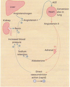 The renin-angiotensin-aldosterone system. ACE, angiotensin converting enzyme.