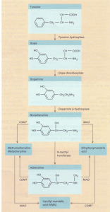 The synthesis and metabolism of catecholamines. (OMT, catechol-Omethyl transferase; MAl, monoamine oxidase.