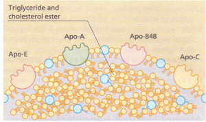 Schematic diagram of the surface of a chylomicron particle (75-1200 nm) showing the apoprotein lying in the membrane.