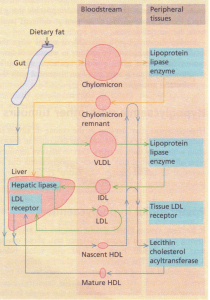 Schematic representation of the sites of origin, interaction between and fate of the major lipoprotein particles.