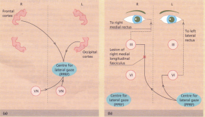 (a) Conjugate lateral gaze: principal input to paramedian pontine reticular formation, or 'centre for lateral gaze'.