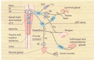 Fifth and seventh cranial nerves and their relationships.