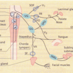 THE TRIGEMINAL NERVE (FIFTH CRANIAL NERVE)