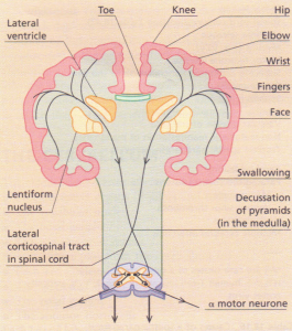 The crossed corticospinal ('pyramidal') tracts. The cortical representation of various parts of the body are shown.