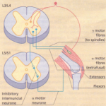 LOWER MOTOR NEURONE LESIONS
